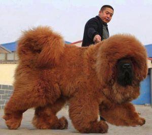 El mastín tibetano más caro del mundo, Big Splash